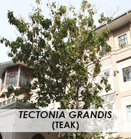 Tectonia grandis
