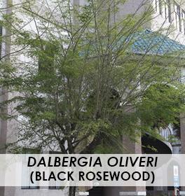 Dalbergia oliveri